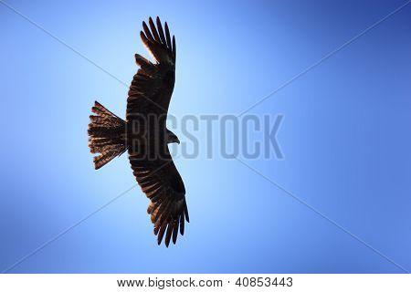 Milvus Migrans, Black Kite.