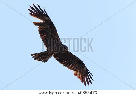Milvus Migrans, Black Kite.