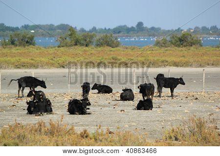 Typical Bulls, Camargue, France