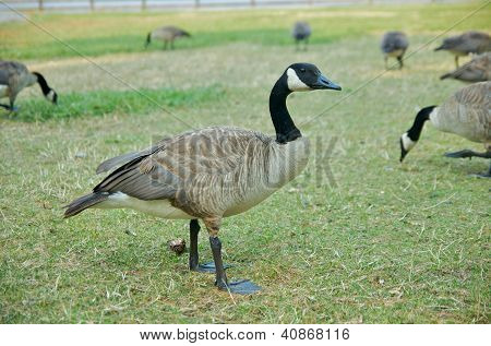 A single Canadian goose on grass