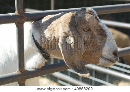 Goat places his head through a fence