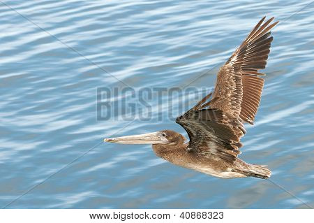 A brown pelican soars over ocean water