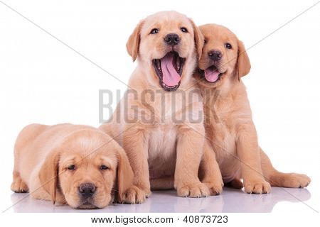 three labrador retriever puppy dogs, two barking and one looking sleepy on white backgroun