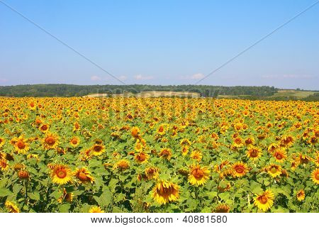 Sunflowers Field Under The Hills