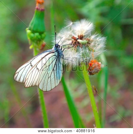 Butterfly On The Dandelion