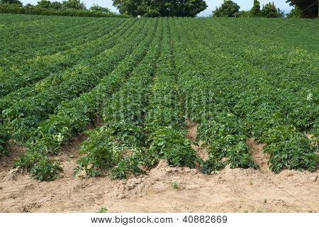 Farming the well known Jersey Royals potatoes