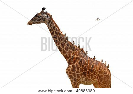 Giraffe Coverd With Birds - Isolated