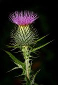 picture of scottish thistle  - Scottish Thistle in flower against black background - JPG