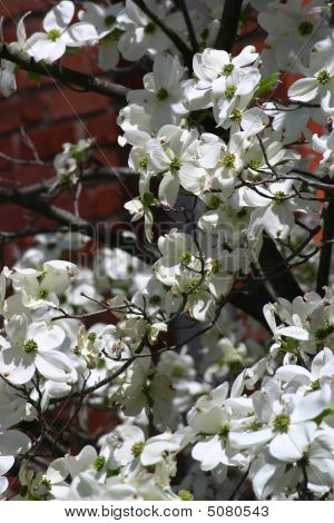 Closeup Of White Dogwood Blossoms