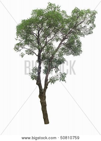 Tree Isolated On The White Baskgrounds