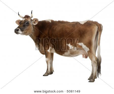 Side View Of A Brown Jersey Cow (10 Years Old)