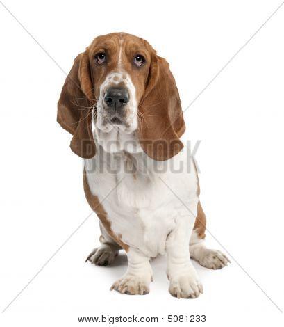 Basset Hound (1 Year Old)- Hush Puppy