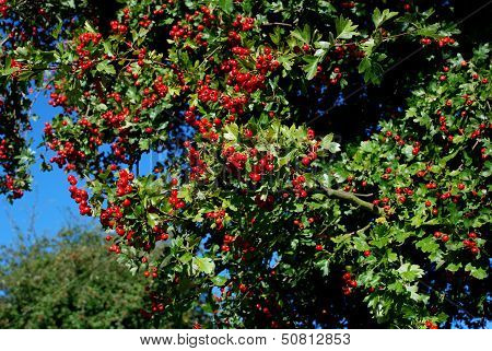 Hawthorn With Red Berries