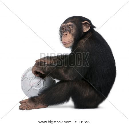 Side View Of A Young Chimpanzee And His Ball - Simia Troglodytes (5 Years Old)
