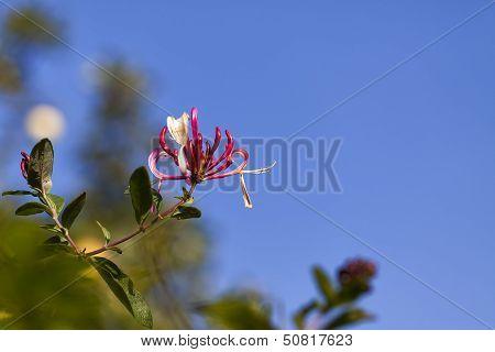Honeysuckle - Lonicera periclymenum