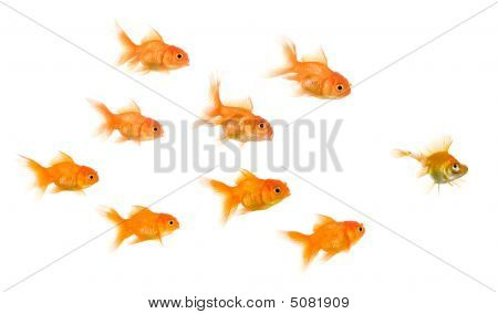 School Of Goldfish