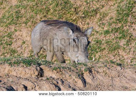 Warthog Feeding On Its Knees
