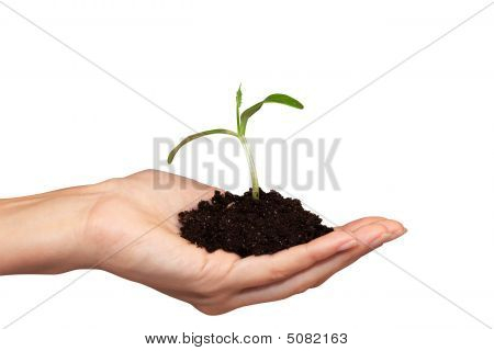 Small Plant In Woman Hand