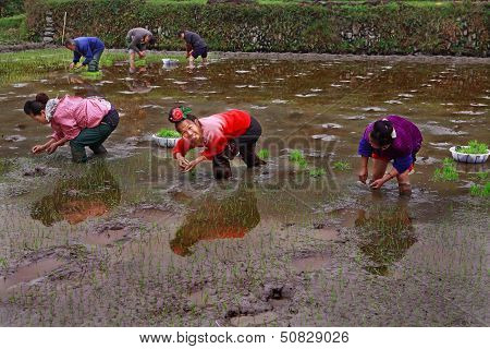 Chinese Women Planting Rice, Standing Knee-deep In Water The Ricefields.