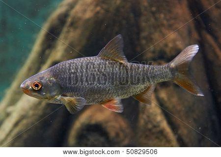 Common rudd (Scardinius erythropthalmus)
