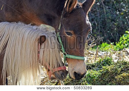 a horse haired brown dwarf with a mule