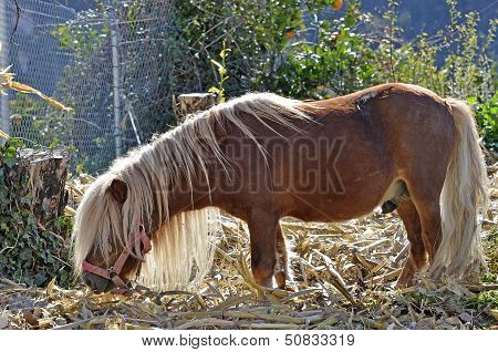 a horse haired brown dwarf eating grass