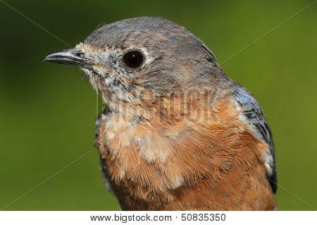 Eastern Bluebird Macro