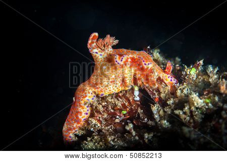 Orange Nudibranch