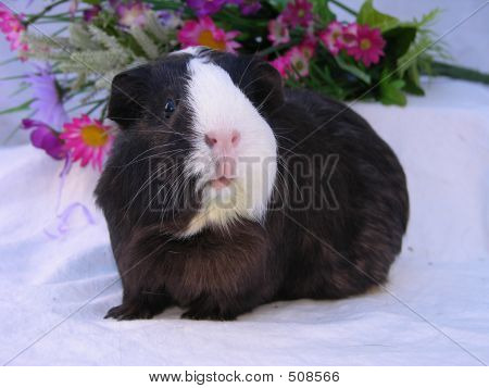 Black And White Spring Cavy