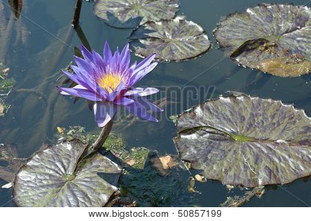 Lily Pads With Flower