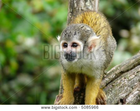 Squirrel Monkey Or Saimiri