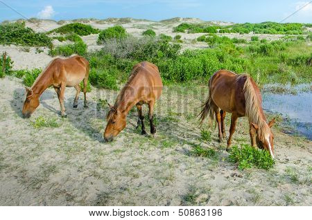 The Wild Horses of Corolla of the Outer Banks in North Carolina