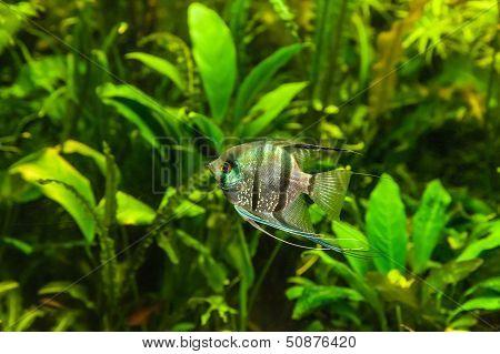 Freshwater Aquarium With Fish Pterophyllum Scalare