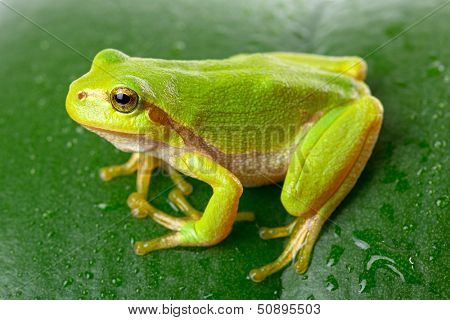 Green tree frog on the leaf close up