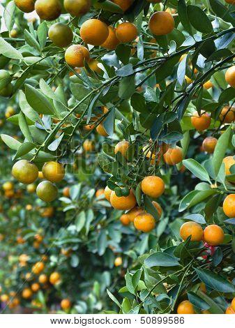 Many Orange On Tree