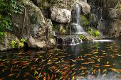 picture of koi fish  - Koi fish in pond at the garden with a waterfall - JPG