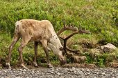 pic of denali national park  - A caribou in Alaska - JPG