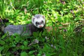 image of ferrets  - Sable ferret - JPG