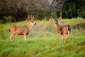 picture of black tail deer  - Black - JPG