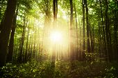 stock photo of coniferous forest  - Sunlight in the green forest - JPG