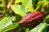 stock photo of cocoa beans  - cocoa fruit growing in tropical forest indonesia - JPG