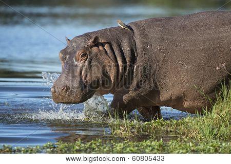 Hippo (hippopotamus Amphibius) South Africa