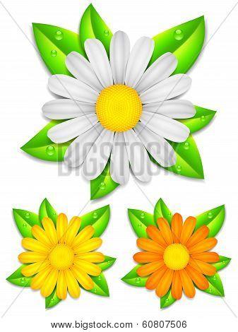 Daisy chamomile flowers.