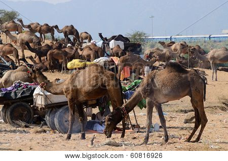 ?rabian dromedary camels taking part at famous cattle fair holiday ,India