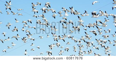 Flock of snow geese in flight, Migration