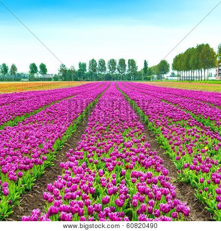 Tulip Blosssom Flowers Cultivation Field In Spring. Holland Or Netherlands.