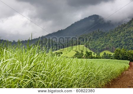 Young Healthy Sugar Cane Growing