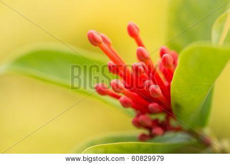 Ixora Chinensis Flower Buds