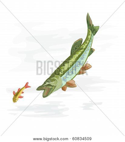 Predatory Fish Pike