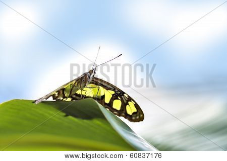Butterfly Papilio